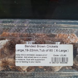 MONKFIELD BANDED BROWN CRICKETS – Large (19-22mm)Tub